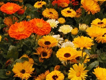 Beautiful-Calendula-Flower-4