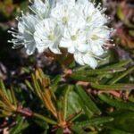 Ledum palustre flower