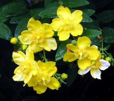 hypericum-flower-yellow